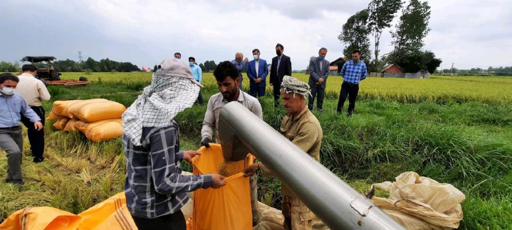 بازدید فرماندار سیاهکل از روند برداشت مکانیزه برنج در سطح شالیزارهای شهرستان